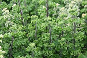 Sherrie-Thai-greens.300p