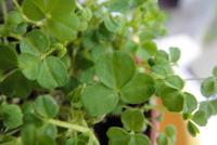 Herbrm.clovers.200pix